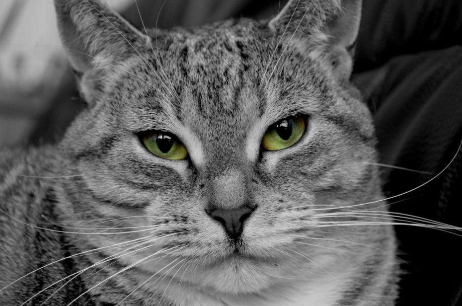 Shaila Katze Schwarzweiß Colorkey Grün Augen Nahaufnahme