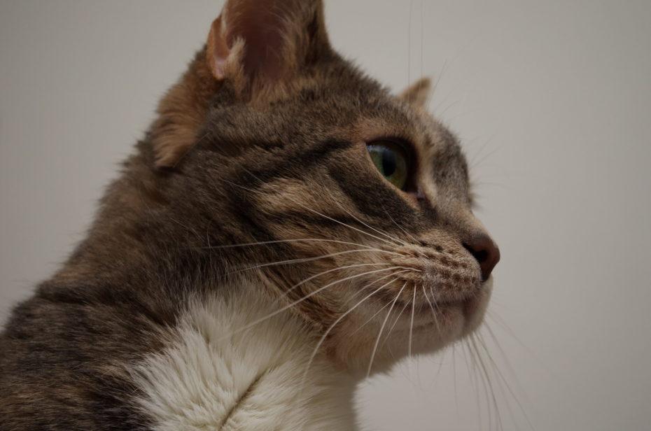 Lissy Katze Porträt schräg unten Grau Weiß Gr+ne Augen