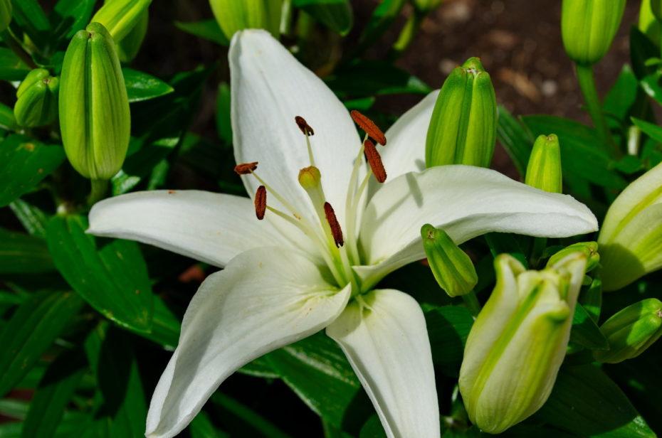 Weiße Lilie Blüte Knospen Grün Samen Bestäubt Griffel Narbe Staubbeutel Braun Staubblatt Staubfaden