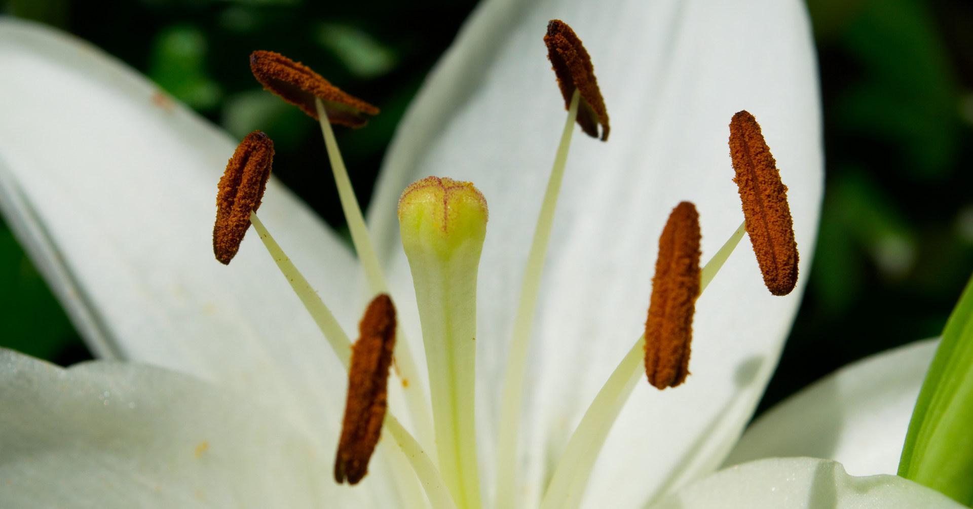 Weiße Lilie Detail Blüte Samen Bestäubt Griffel Narbe Staubbeutel Braun Staubblatt Staubfaden