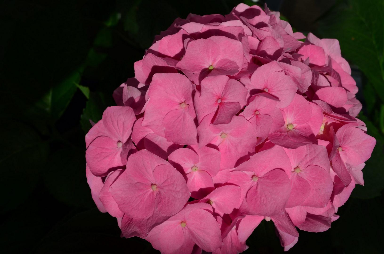 Rosa Hortensie Blüten Sonne