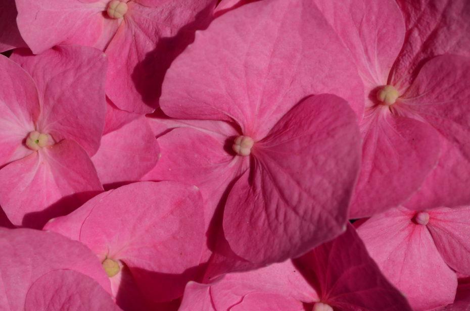 Rosa Hortensie Detail Nah Blüten Sonne