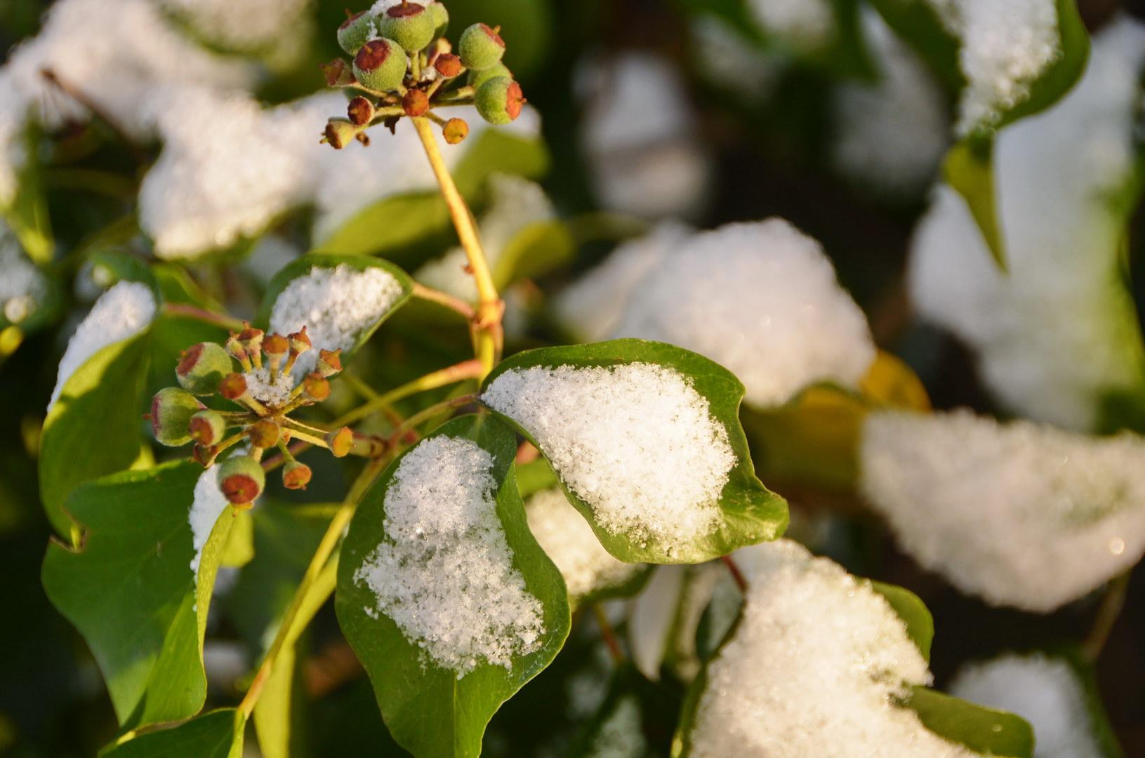 Gemeiner Efeu im Schnee Schnee Grun Sonne Knospen Frost