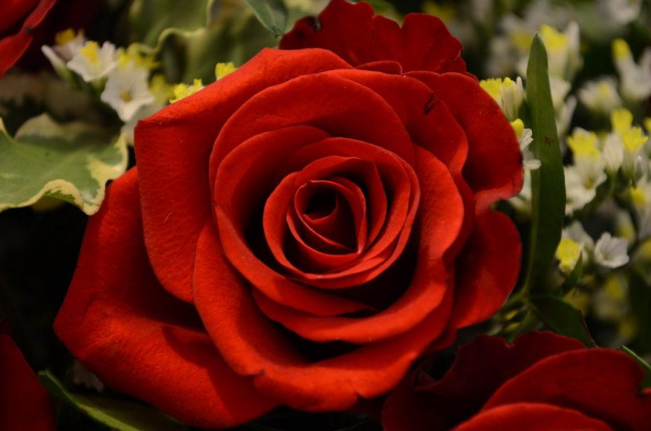 Rote Rose Schatten Nahaufnahme Grün