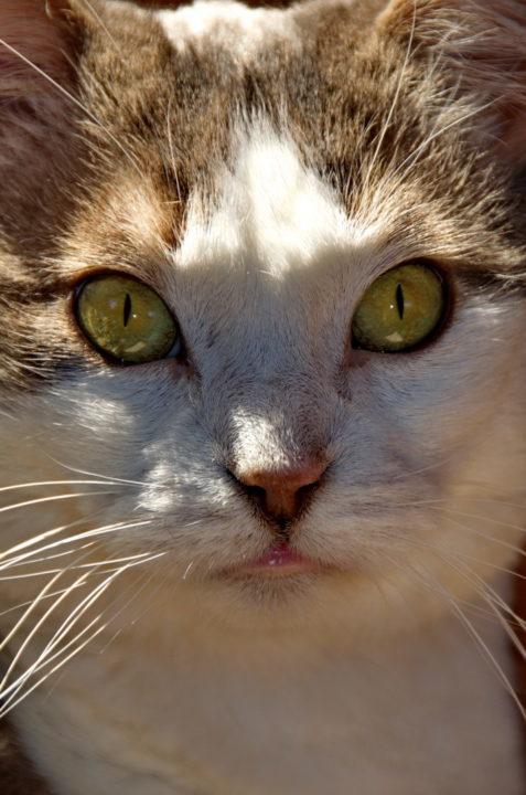 Minka Katze Portät Grüne Augen Weiß Braun Sonne
