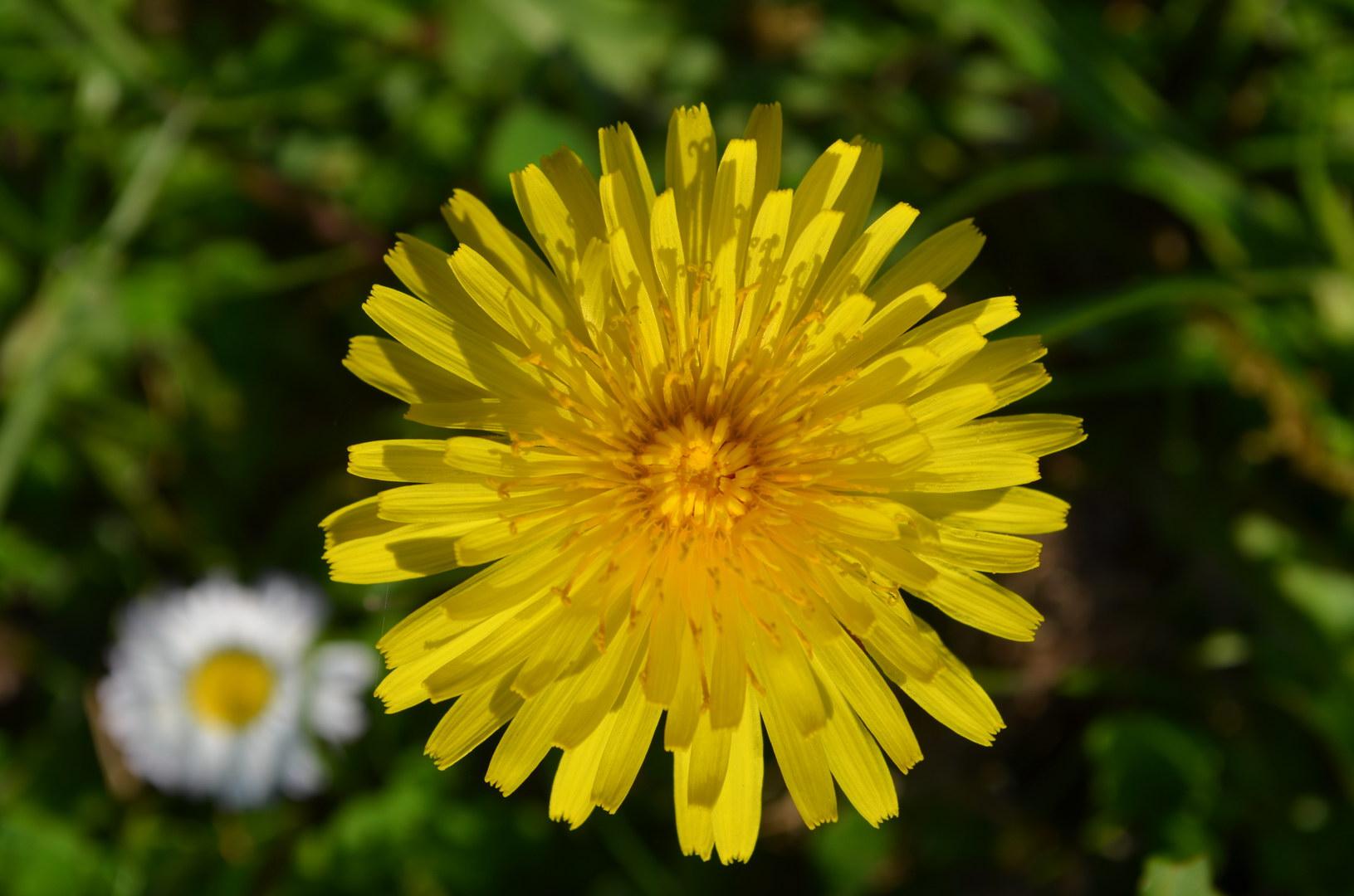 Löwenzahn oben Blüte gelb Gras Gänseblümchen Schatten Sonne
