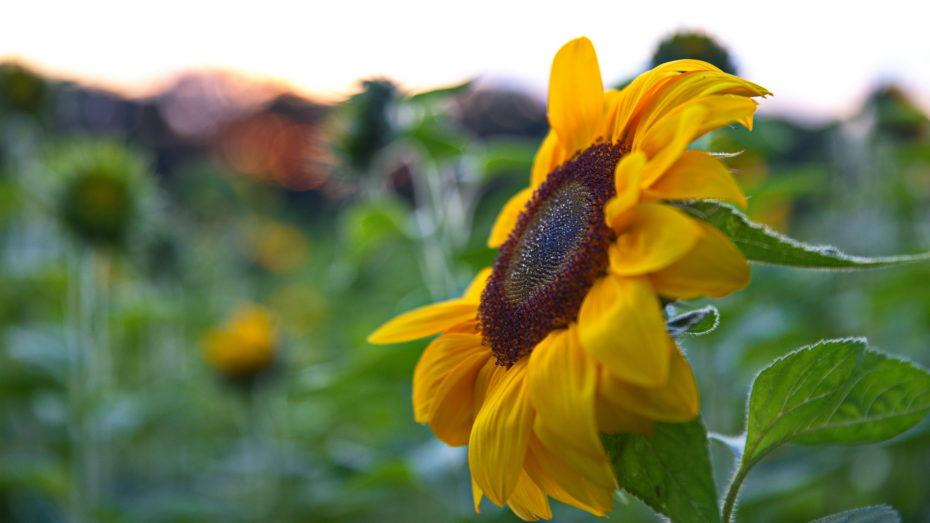 Sonnenblume seitlich Details Nur Blüte mit Wassertropfen feine Härchen an Blättern