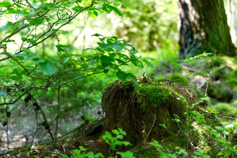 Baumstumpf im Wald