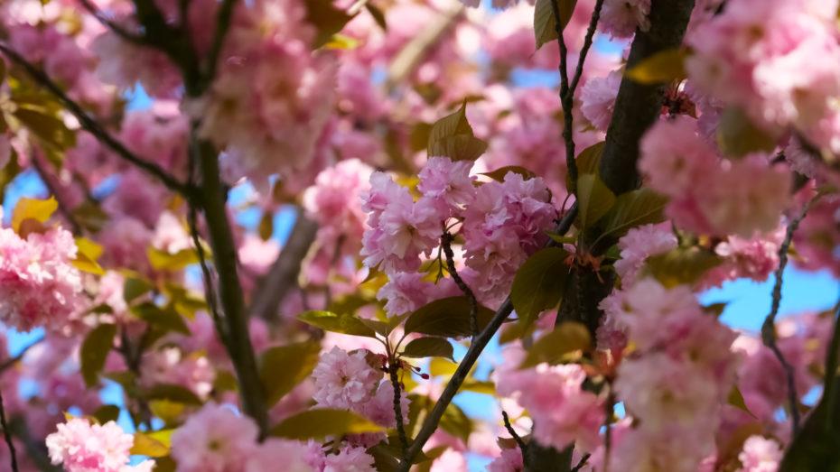 Kirschblueten im Baum